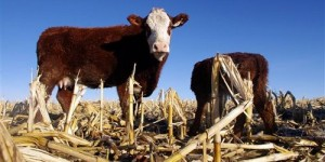 cattle-in-corn-field_idaho