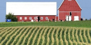 corn-field-and-red-barns