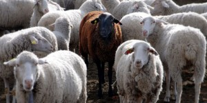 featured-sheep